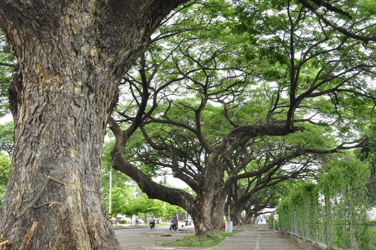 Contraloría Municipal le pone la 'lupa' a los árboles urbanos de Valledupar