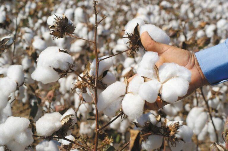 Agricultores del Cesar se preparan para la temporada de producción de algodón