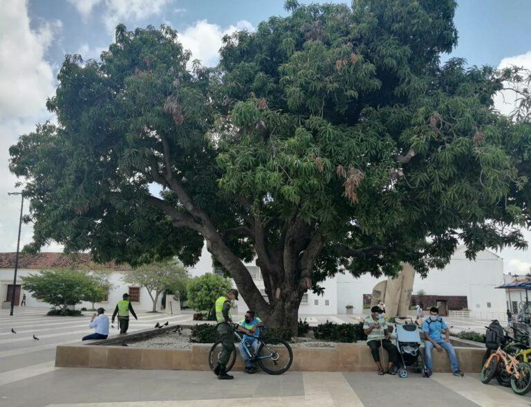 El emblemático Palo de Mango de la Plaza Alfonso López agonizando entre la 'pajarita'