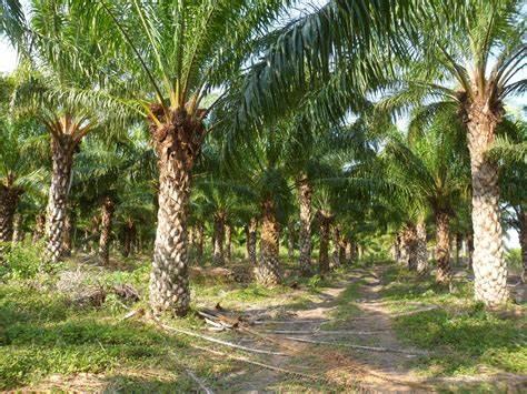 Palmicultores del Cesar manifestaron en contra de Indupalma por despidos presuntamente injustificados